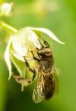 Abeja en la flor de la frambuesa Imagenes de archivo