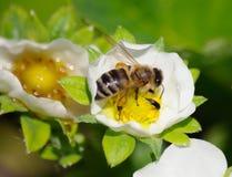 Abeja en la flor de la fresa Imagen de archivo libre de regalías