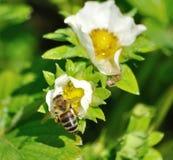 Abeja en la flor de la fresa Fotos de archivo libres de regalías