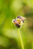 Abeja en la flor de la hierba Fotografía de archivo