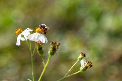 Abeja en la flor de la hierba Fotos de archivo libres de regalías