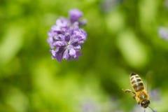 Abeja en la flor de la lavanda Foto de archivo libre de regalías