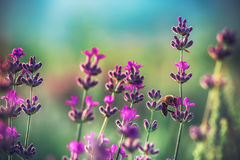 Abeja en la flor de la lavanda en el campo Imágenes de archivo libres de regalías