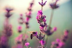 Abeja en la flor de la lavanda en el campo Imagen de archivo libre de regalías