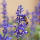 Abeja en la flor de la lavanda en el jardín Imagen de archivo libre de regalías