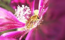 Abeja en la flor de la malva blurry Foto de archivo