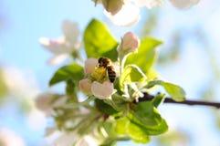 Abeja en la flor de la manzana Foto de archivo