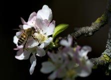 Abeja en la flor de la manzana Imagen de archivo libre de regalías