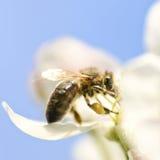 Abeja en la flor de la manzana Fotos de archivo libres de regalías