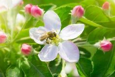 Abeja en la flor de la manzana de la primavera Fotografía de archivo libre de regalías