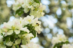Abeja en la flor de la manzana en jardín de la primavera Foto de archivo