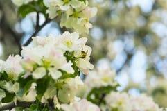 Abeja en la flor de la manzana en jardín de la primavera Fotos de archivo