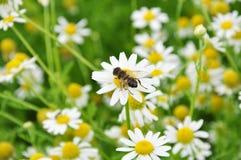 Abeja en la flor de la manzanilla Foto de archivo