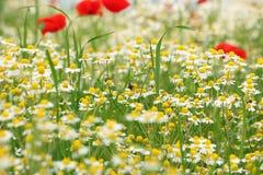Abeja en la flor de la manzanilla Fotografía de archivo libre de regalías