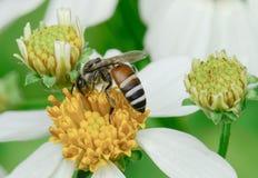 Abeja en la flor de la manzanilla Imagenes de archivo