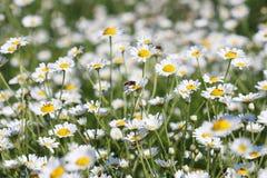 Abeja en la flor de la manzanilla Imagen de archivo
