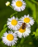 Abeja en la flor de la manzanilla, primavera, naturaleza Fotografía de archivo libre de regalías