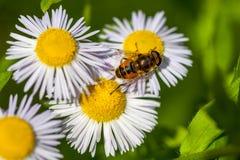 Abeja en la flor de la manzanilla, primavera, naturaleza Fotos de archivo