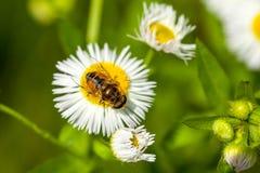 Abeja en la flor de la manzanilla, primavera, naturaleza Foto de archivo libre de regalías