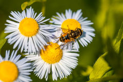 Abeja en la flor de la manzanilla, primavera, naturaleza Fotos de archivo libres de regalías