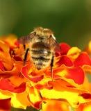 Abeja en la flor de la maravilla Fotos de archivo libres de regalías