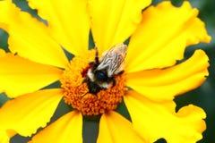 Abeja en la flor de la maravilla Foto de archivo