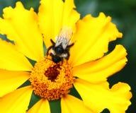 Abeja en la flor de la maravilla Imagen de archivo