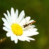 Abeja en la flor de la margarita Fotos de archivo
