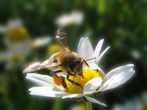 Abeja en la flor de la margarita Fotografía de archivo libre de regalías