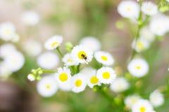 Abeja en la flor de la margarita blanca Fotos de archivo