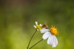 Abeja en la flor de la margarita blanca Imagen de archivo libre de regalías