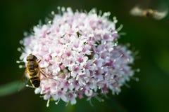 Abeja en la flor de la montaña Imagen de archivo libre de regalías