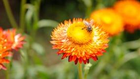 Abeja en la flor de la paja Fotografía de archivo libre de regalías