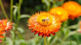 Abeja en la flor de la paja Imagenes de archivo