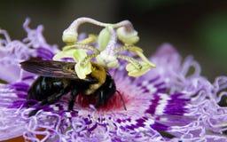 Abeja en la flor de la pasión Fotografía de archivo