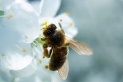 Abeja en la flor de la pera Fotos de archivo