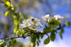 Abeja en la flor de la pera Imagenes de archivo
