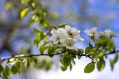 Abeja en la flor de la pera Foto de archivo libre de regalías