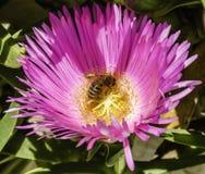Abeja en la flor de la planta de hielo Imágenes de archivo libres de regalías