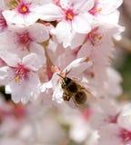 Abeja en la flor de la primavera de la cereza Fotos de archivo