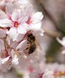 Abeja en la flor de la primavera de la cereza Imagen de archivo
