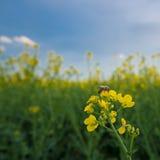 Abeja en la flor de la rabina, polinización debajo del cielo azul Foto de archivo libre de regalías