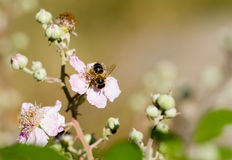 Abeja en la flor de la zarzamora Foto de archivo