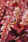 Abeja en la flor de la lavanda Imagenes de archivo