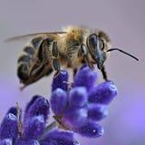 Abeja en la flor de la lavanda Imagen de archivo libre de regalías
