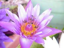 Abeja en la flor de loto Foto de archivo libre de regalías