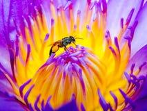 Abeja en la flor de loto Imagen de archivo