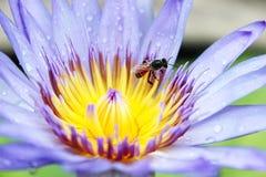Abeja en la flor de loto azul Imagen de archivo libre de regalías