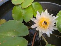Abeja en la flor de loto blanco Fotos de archivo