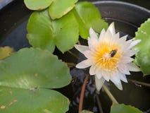 Abeja en la flor de loto blanco Foto de archivo libre de regalías